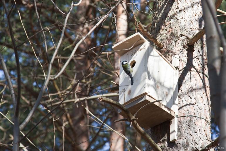 Inkilėlių kabinimo akcija, 2011-03-27, inkilas, zylė, medis, Subtilu-Z