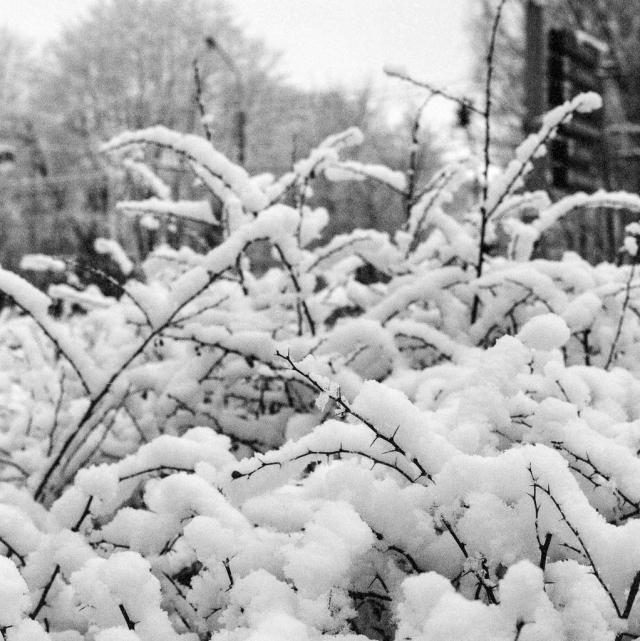 Bronica SQ-A, Zenza Bronica Zenzanon-PS 80mm f2.8, Ilford Delta 3200 Pro, 6x6, 2013, Vilnius, Lietuva, Lithuania, žiema, winter, sniegas, snow, medžiai, trees, juosta, film, krūmai, bush